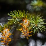 Rama de árbol de abeto de douglas con los conos el otoño primer Foto de archivo libre de regalías