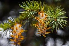 Rama de árbol de abeto de douglas con los conos el otoño primer Fotografía de archivo libre de regalías