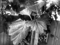 Rama de árbol blanco y negro imagen de archivo
