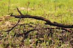 Rama de árbol carbonizada en la tierra con la hierba joven Imagen de archivo libre de regalías