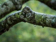 Rama de árbol con descensos del agua foto de archivo libre de regalías