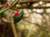 Rama de árbol con las bayas y las hojas rojas del verde Fotografía de archivo libre de regalías