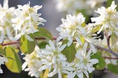 Rama de árbol con las flores blancas imagen de archivo