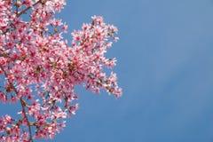 Rama de árbol con las flores de cerezo rosadas florecientes Foto de archivo