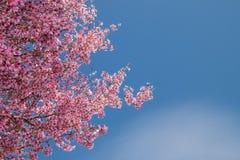 Rama de árbol con las flores de cerezo rosadas florecientes imagenes de archivo