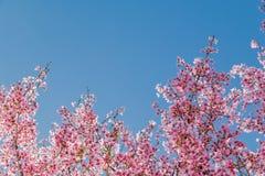 Rama de árbol con las flores de cerezo rosadas florecientes fotografía de archivo