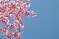 Rama de árbol con las flores de cerezo rosadas florecientes fotos de archivo libres de regalías