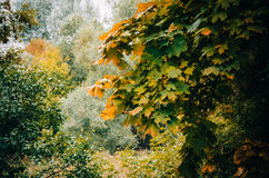 Rama de árbol con las hojas amarillas Fotografía de archivo