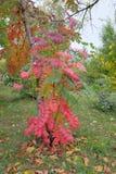 Rama de árbol con las hojas del rojo en Omsk foto de archivo libre de regalías