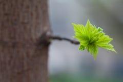 Rama de árbol con las hojas verdes jovenes Imagenes de archivo