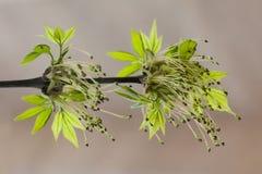 Rama de árbol con las hojas verdes jovenes Fotos de archivo libres de regalías