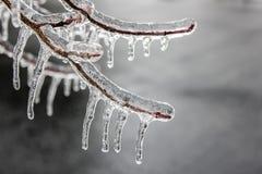 Rama de árbol con los brotes embalados en hielo - carámbanos Imagen de archivo libre de regalías