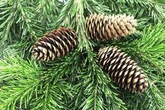 Rama de árbol con los conos Tarjetas de la Navidad o del Año Nuevo Foto de archivo libre de regalías