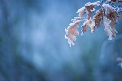 Rama de árbol congelada hermosa con las hojas muertas Foto de archivo libre de regalías