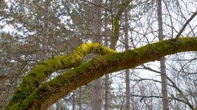 Rama de árbol cubierta de musgo Fotos de archivo libres de regalías