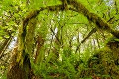 Rama de árbol cubierta de musgo arqueada en bosque Imágenes de archivo libres de regalías