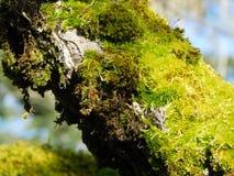 Rama de árbol cubierta de musgo en un día de enero Imagen de archivo libre de regalías