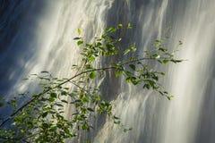 Rama de árbol de abedul con la cascada Imagen de archivo libre de regalías
