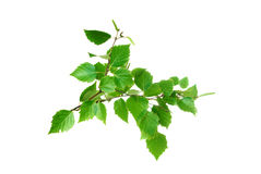Rama de árbol de abedul con las hojas y los aments del verde Foto de archivo