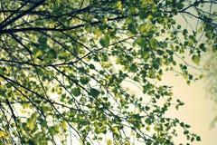 Rama de árbol de abedul de la primavera Foto de archivo