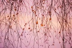 Rama de árbol de abedul dulce con solas hojas Imagen de archivo libre de regalías