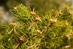 Rama de árbol de abeto. Imagen de archivo libre de regalías