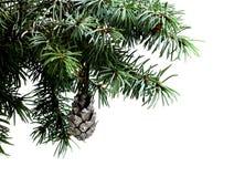Rama de árbol de abeto aislada en blanco con el cono del pino del abeto Fotografía de archivo libre de regalías