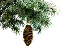 Rama de árbol de abeto aislada en blanco con el cono del pino del abeto Imagen de archivo