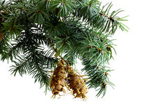 Rama de árbol de abeto aislada en blanco con el cono del pino del abeto Foto de archivo