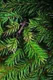 Rama de árbol de abeto de la Navidad en el tablero de madera rústico. Tarjeta de Navidad Imagen de archivo