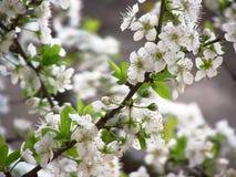 Rama de árbol de ciruelo en flor Fotografía de archivo libre de regalías