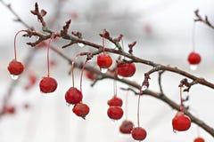 Rama de árbol de Crabapple del invierno cubierta en hielo Fotografía de archivo