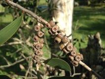 Rama de árbol de eucalipto con las semillas Imagen de archivo