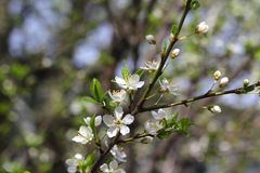 Rama de árbol de florecimiento Primavera estaciones Imagen de archivo libre de regalías