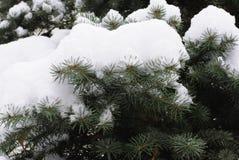 Rama de árbol de la nieve Fotografía de archivo libre de regalías