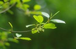 Rama de árbol de la primavera con las primeras hojas del verde Imagen de archivo libre de regalías