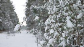 Rama de árbol de navidad en el paisaje hermoso de la naturaleza del bosque del invierno de la nieve, fondo borroso Fotografía de archivo
