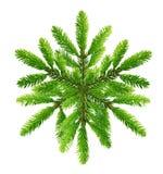 Rama de árbol de pino Fotografía de archivo libre de regalías