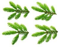 Rama de árbol de pino Foto de archivo libre de regalías