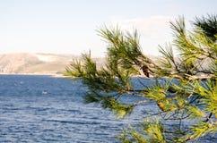 Rama de árbol de pino Imágenes de archivo libres de regalías