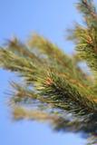 Rama de árbol de pino Foto de archivo