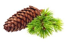 Rama de árbol de pino con el cono Imagenes de archivo