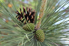 Rama de árbol de pino con los conos Fotografía de archivo