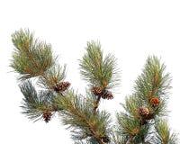Rama de árbol de pino con los conos aislados Foto de archivo