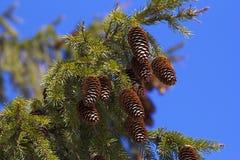 Rama de árbol de pino con los conos frescos Fotos de archivo libres de regalías