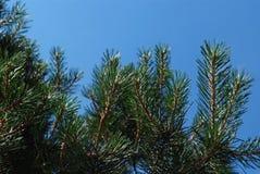 Rama de árbol de pino en el fondo del cielo Imagen de archivo