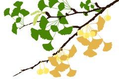 Rama de árbol del Ginkgo - ejemplo Fotos de archivo