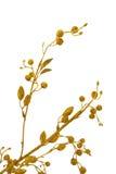Rama de árbol del oro Imágenes de archivo libres de regalías