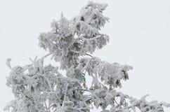 Rama de árbol en invierno Foto de archivo libre de regalías