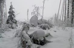 Rama de árbol en invierno con nieve Imagen de archivo